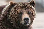 stock photo of grizzly bear  - Grizzly or brown bear head and shoulders portrait - JPG