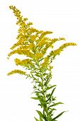 foto of goldenrod  - Blooming goldenrod plant isolated on white background - JPG