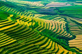 image of rice  - Terraced rice field in rice season in Mu Cang Chai, Vietnam ** Note: Shallow depth of field - JPG