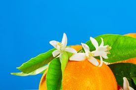 image of valencia-orange  - Oranges with orange blossom flowers in spring on blue background - JPG
