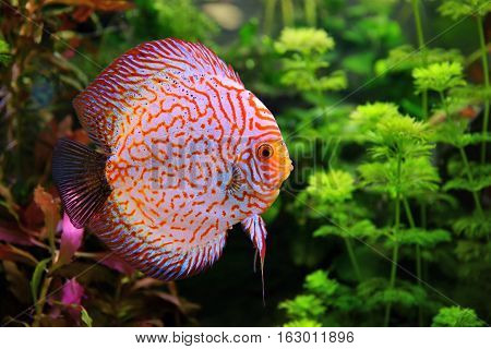 Discus (Symphysodon) multi-colored cichlid in the aquarium the freshwater fish native to the Amazon River basin