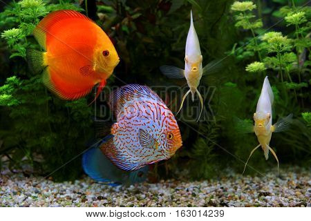 Discus (Symphysodon) multi-colored cichlids in the aquarium the freshwater fish native to the Amazon River basin