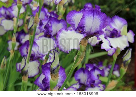 Horizontal image of beautiful purple and white iris flowers in landscaped garden.