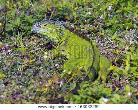 Juvenile Green Iguana in grass full body and striped tail in photo