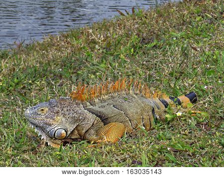 Full length male Green Iguana displaying orange breeding colors in grass by lake missing part of tail