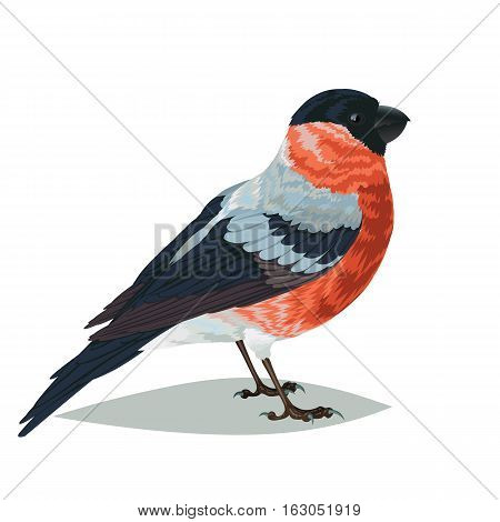 Realistic bird Bullfinch isolated on a white background. Vector illustration of realistic bird Bullfinch for your journal article or encyclopedia.