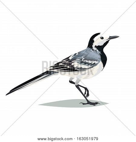 Realistic bird Wagtail isolated on a white background. Vector illustration of realistic bird Wagtail for your journal article or encyclopedia.