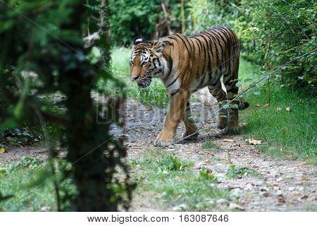 Siberian Tiger Along A Path In The Forest
