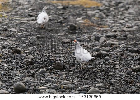 Male rock ptarmigan in winter cloak (Iceland, early spring)