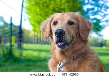A golden retriever sits attentively at a park.