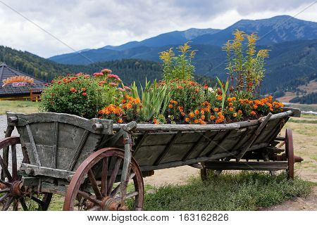 Chrysanthemum and marigold. Flower bed in the cart.