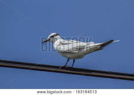 Whiskered tern in Thabbowa sanctuary, Puttalam,Sri Lanka ; specie Chlidonias hybrida family of laridae