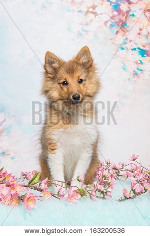 Cute sitting shetland sheepdog puppy facing the camera on a pastel pink and blue flower background