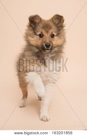 Cute shetland sheepdog puppy lifting its paw at facing the camera on a soft creme background