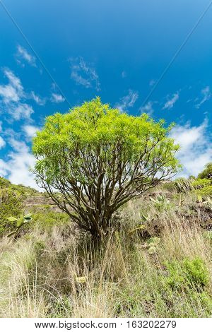 Ever-green plant growing without water on vulcanic lava field Tenerife island Spain