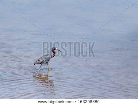 A little Blue Heron wading in the water. Latin name is Egretta caerulea. Order Pelecanefdormes. Family Ardeidae.