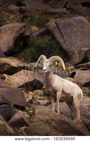 Big Horn Sheep. Single male Ram at Walker Lake, Nevada