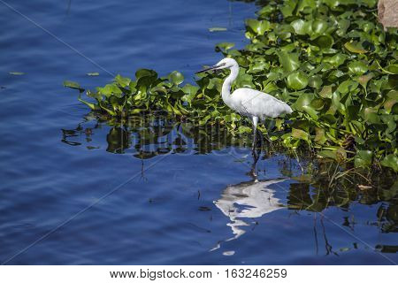 Little egret in Thabbowa sanctuary in Puttalam, Sri Lanka ; specie Egretta garzetta family of ardeidae