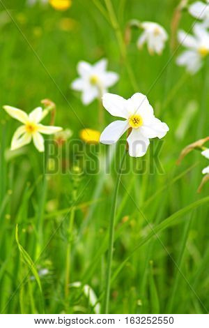 Narcissi in Khust, Ukraine - in may there are dandelions and narcissuses on Valley of Narcissi