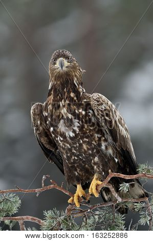 Eagle sitting on a tree in winter. Bird of prey: White-tailed eagle.