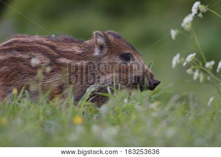 Wild boar piglet portrait in the field at summer