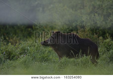 Wild boar in the field with forest background