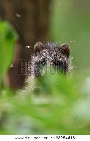 raccoon dog pup. baby animal. forest animal.