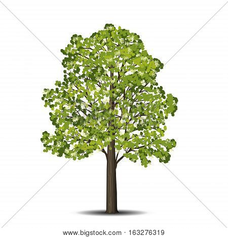 detached linden tree with leaves and flowers on a white background