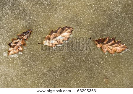 Three oak leaves in ice on a frozen river in sunny day