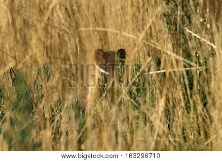 Short-tailed Weasel observing while hidden in the grass