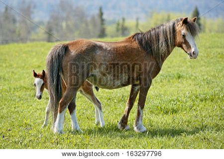 Welsh Pony Mare with curious few week old Foal at spring pasture watching.