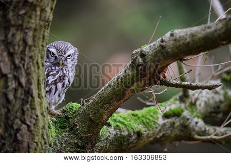 Suspicious Little Owl
