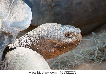 Close up of the Giant Tortoise looking at viewer