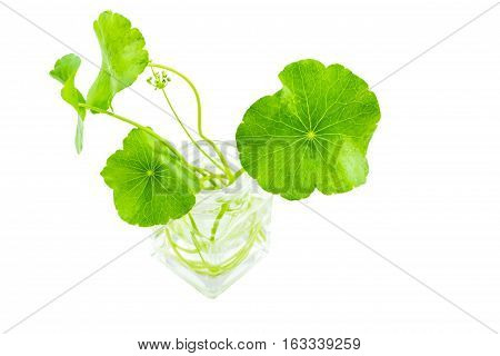 Close up green Asiatic Pennywort (Centella asiatica Hydrocotyle umbellata L or Water pennywort ) with long stalk in glass bottles isolated on white backgroundselective focus.Saved with clipping path.
