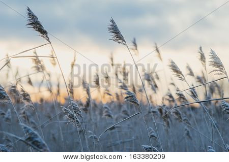 Hoar-frosted dry reed grass against sunset selective focus
