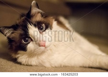 A Rag Doll Cat Laying on the Floor