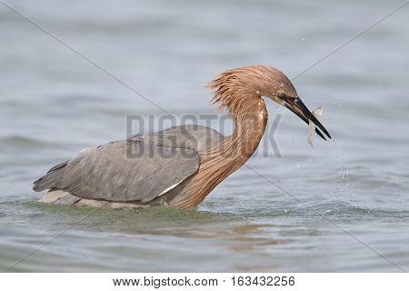Reddish Egret Catching A Fish - St. Petersburg, Florida