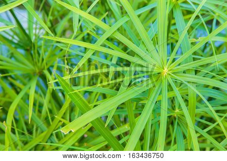 Closeup to texture of Papyrus plant leaf