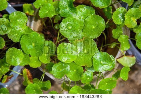 Top view of Asiatic Pennywort or Centella Asiatica or green plant with water or rain.