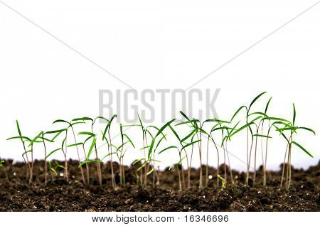 small green seeds isolated on white