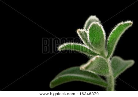 fluffy plant isolated on black