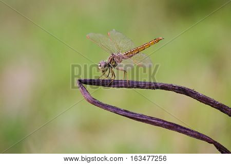 Golden dragonfly on a dead tree with soften nature background