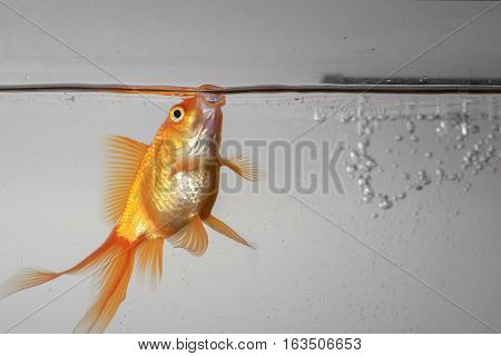 Beautiful fantail goldfish in an aquarium under the water