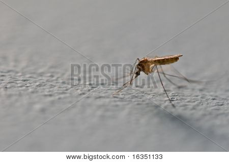 mosquito on wall close up