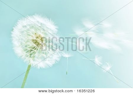 dandelion on blue sky background