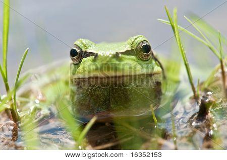 frog head in water closeup