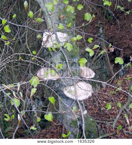Tree Trunk Fungi