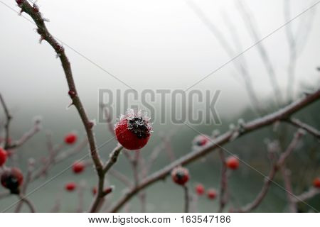 Red rose-hips macro in winter under frost in the cold