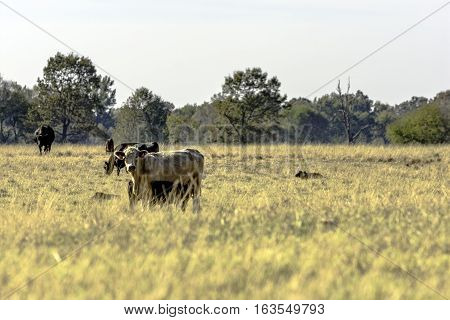 Commercial beef cattle in a flat dormant bermuda grass pasture with blank area in the foreground.