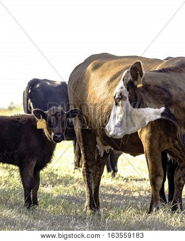 Commercial beef cow with her calf in a dormant bermuda grass pasture